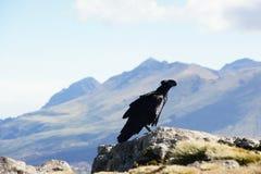 White-necked raven in Simien mountains Royalty Free Stock Photos