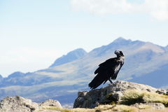 White-necked raven in Simien mountains Royalty Free Stock Images