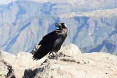 White-necked raven in Simien mountains Stock Photos