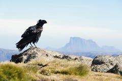 White-necked raven in Simien mountains Royalty Free Stock Image