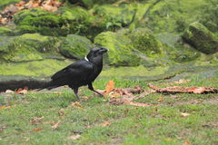 White-necked raven Royalty Free Stock Photography