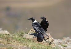 White-necked Ravens stock photo