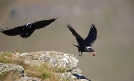 White-necked Ravens Royalty Free Stock Photography