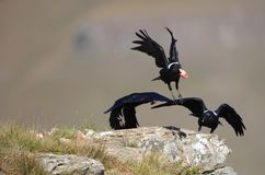White-necked Ravens Stock Photo