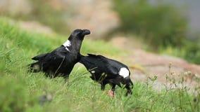 White-necked ravens feeding stock video footage