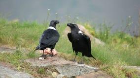 White-necked ravens stock video footage