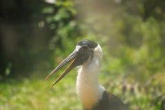 White-necked stork Stock Images