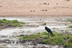 White-necked Stork Royalty Free Stock Photos