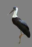 White-necked Stork or Woolly-necked Stork Stock Image