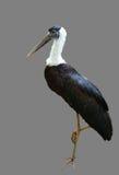 White-necked Stork or Woolly-necked Stork Stock Image