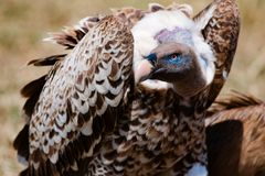 Vulture feeding on carcass in Serengeti, fighting for food, Tanzania, Africa