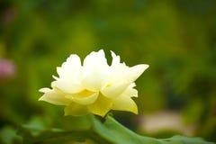 White nelumbo nucifera gaertn blossom lotus Stock Images