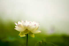 White nelumbo nucifera gaertn blossom lotus Royalty Free Stock Photography