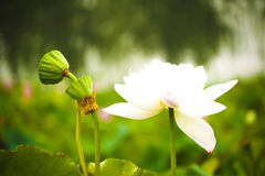 White nelumbo nucifera gaertn lotus Royalty Free Stock Images