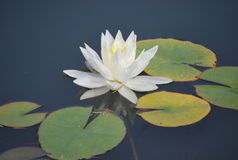 A white nenuphar on the lake. A white water lily or white nenuphar on the surface of lake. It is an aquatic flowering plant. It grows in water and likes large stock photo