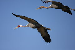 White-neped crane Stock Photography