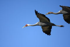 White-neped crane Stock Images