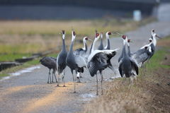 White-neped crane Royalty Free Stock Photography