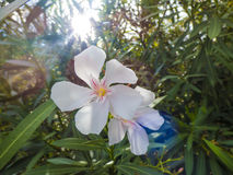 White Nerium Oleander Royalty Free Stock Image