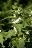 White nettle royalty free stock images