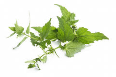 White Nettle,Lamium Album Medicinal Plant. Lamium Album,White Nettle Medicinal Plant Isolated on White stock images