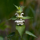 White nettle (Lamium album). The White nettle (Lamium album) are rather similar to the Stinging nettle but do not sting. Uppland, Sweden stock photos