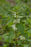 White Nettle or White Dead-nettle (Lamium album) Royalty Free Stock Photo