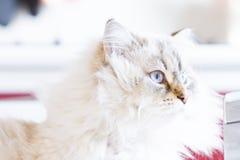 White neva masquerade cat, long haired siberian breed. Candid cat, siberian breed Stock Photography