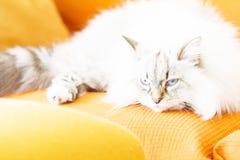 White neva masquerade cat, long haired siberian breed Stock Photography