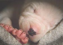 White New born puppy sleep. Sweet White New born puppy sleep Stock Photography