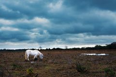 White horse in in New Forrest United Kingdom. White New Forrest pony in Hampshire, United Kingdom royalty free stock photos