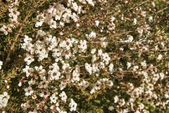 White New Zealand manuka bush with flowers in bloom royalty free stock image