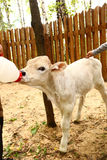 White newborn calf drinking milk from bottle Royalty Free Stock Photos
