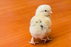 White newborn chicken with black feathers on the back on a wooden surface stock photo