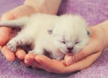 White newborn kitten Royalty Free Stock Photo