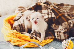 White Newborn kittens in a plaid blanket Royalty Free Stock Images
