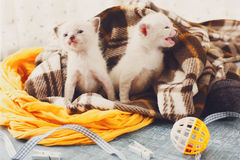 White Newborn kittens in a plaid blanket Royalty Free Stock Photo