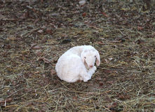 White newborn lamb isolated on the lawn Royalty Free Stock Photo