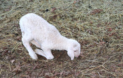 White newborn lamb walking with difficulty on the hay Stock Image