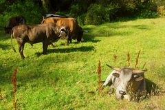 White Nguni bull lies on pasture. Next to herd. Shot in Vergelegen estate area, Hottentots Holland Mountains, near Somerset West, Western Cape, South Africa Royalty Free Stock Photo