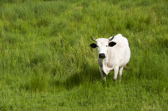 White Nguni in a green field stock photo
