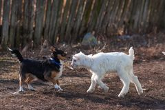 White nice little goatling play black dog royalty free stock image