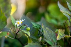 White Nightshade Flowers. Bloom amoung green foliage in summertime royalty free stock photography