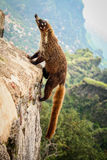 White nose coati climbing a pyramid in tepoztlan morelos mexico.  Stock Images