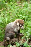 White-nosed Coati. (Nasua narica), also known as the Pizote or Antoon Stock Images