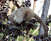 White-nosed Coati Stock Image