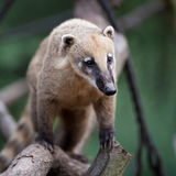 White-nosed Coati. Portrait of a very cute White-nosed Coati (Nasua narica) aka Pizote or Antoon. Diurnal, omnivore mammal Stock Photography