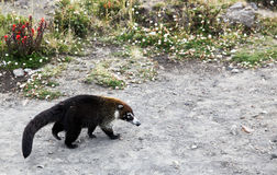 White-Nosed Coati. A Costa Rician white nosed coati, which is similar to a raccoon, walks through a parking area looking for food but avoiding people Royalty Free Stock Photos