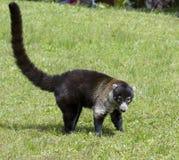 White-nosed coati. Costa-Rica stock images