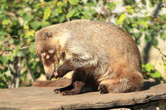 White-nosed coati Stock Images